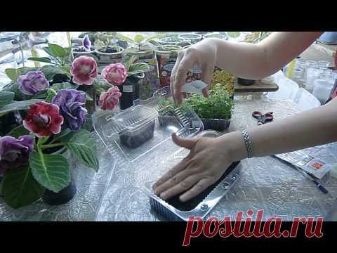 La siembra de las semillas del Crisantemo con el agua hervida, el resultado.