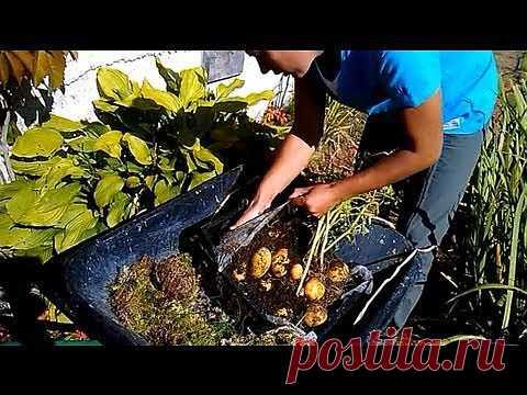 (+1) тема - Гигантский картофель в ящике - двухметровая ботва и большие клубни!   6 соток