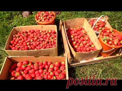 Se acuerdo del verano, el 6 de julio, recogemos la fresa.