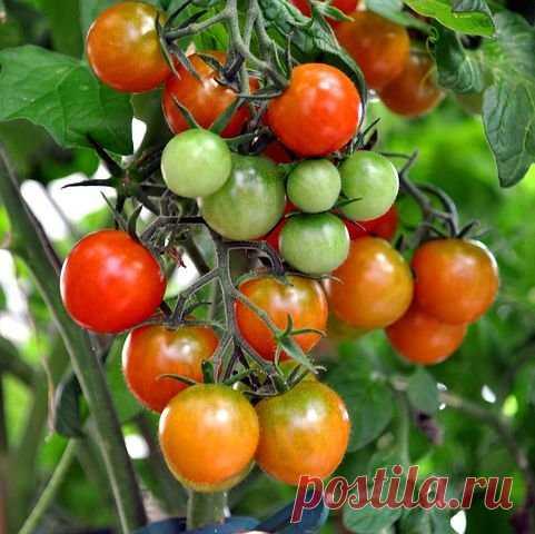 Перекись водорода — моментальная чудо-подкормка для помидоров | Секреты садоводства | Яндекс Дзен