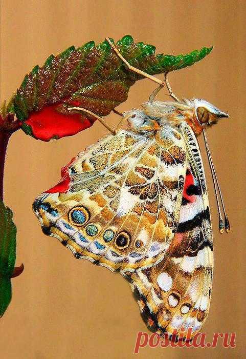 Мир бабочек настолько разнообразен, что нам, людям приходится лишь удивляться необычайной красоте этих творений