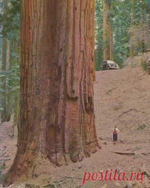 Женщина рядом с секвойей, самым огромным деревом на планете — фотография 30-х годов прошлого века.