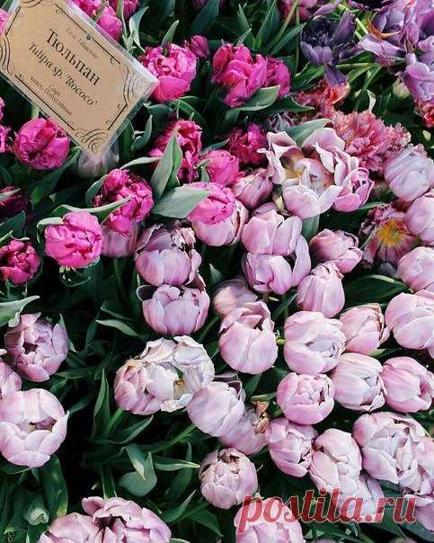 Сегодня в «Аптекарском огороде» будут дарить цветы! Если хотите заполучить самые чёрные в мире тюльпаны или тюльпаны-попугаи, приходите в сад к 5 часам вечера.