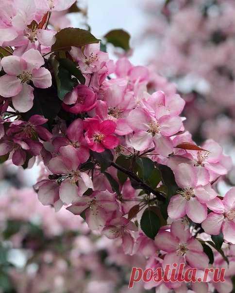 Яблонька цветёт в Подмосковье! 🌸🌸🌸