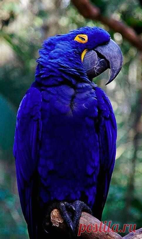 Purple parrot