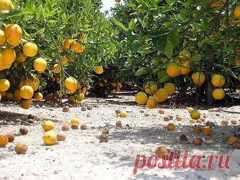 Фото Испании - апельсиновые рощи на побережье Коста Бланка. Costablancaru.com