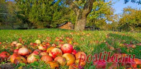 Опавшие яблоки – отличное удобрение. Тонкости и правила приготовления великолепной подкормки   У-Дачный канал советы от Арины   Яндекс Дзен