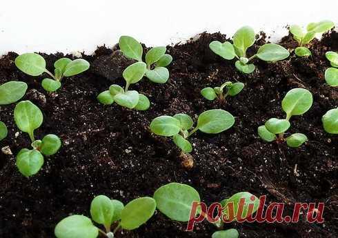 Выращивание цветочной рассады дома   Красоты земли