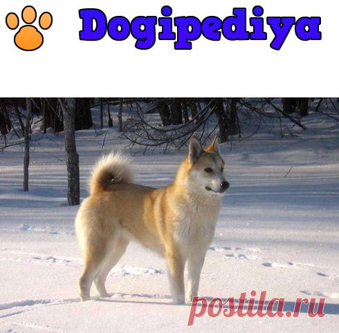 Западно-сибирская лайка – фото, описание, стандарт породы, цена щенка