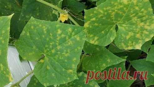 Урожайность огурца — как не допустить желтых листьев | Эдвика | Яндекс Дзен