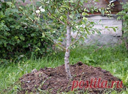 Посадка дерева: как правильно на Supersadovnik.ru