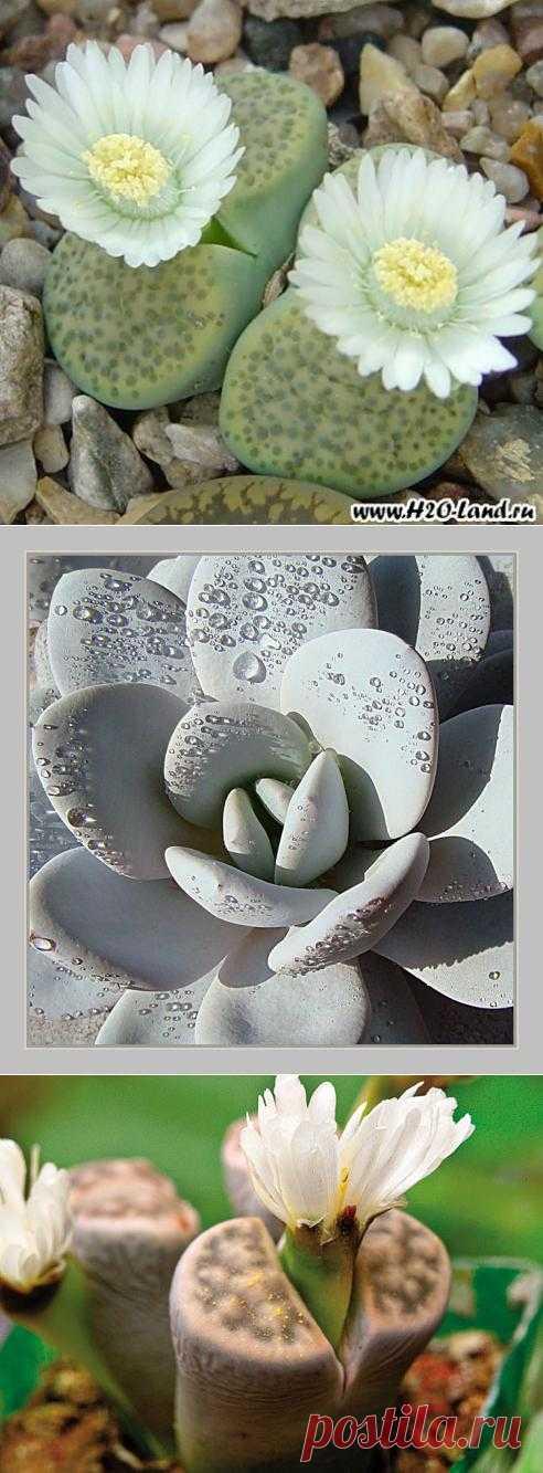 Литопсы - живые камушки. Суккулентные растения из Южной Африки обладающие мясистыми листьями еще называют – живыми камнями. Такие растения - живые камни, точно копируют гальку и мелкие камушки, среди которых растут эти растения.