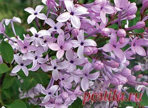 Сирень: сорта с лепестками, листьями и кустами необычной формы.
