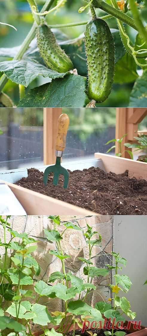 Как вырастить огурцы на балконе | МОЯ КВАРТИРА