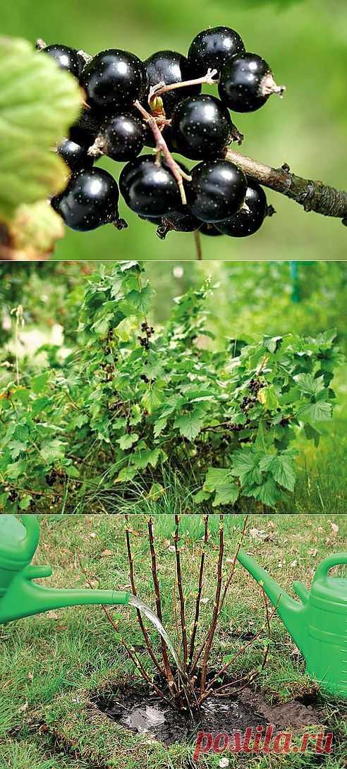 Как посадить смородину осенью: полезные советы.
