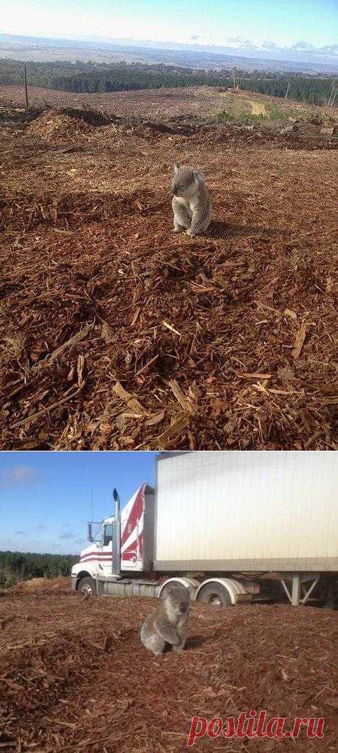 Дом? Где же мой дом?! После вырубки леса в Австралии тысячи животных остались без дома