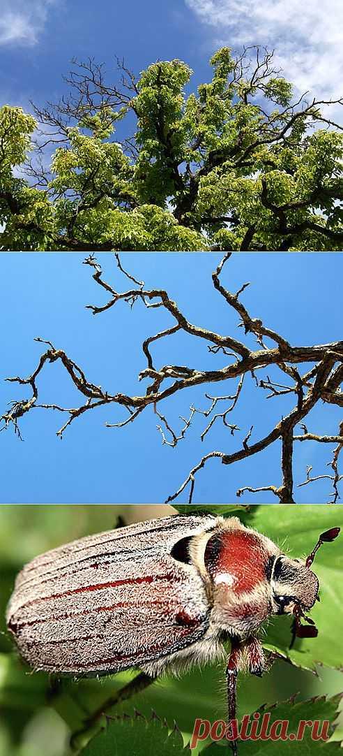 КАК ПОМОЧЬ БОЛЬНОЙ ЯБЛОНЕ. Плодовое дерево, сухие побеги В кроне яблони появились сухие ветки? Серьезный повод для тревоги.