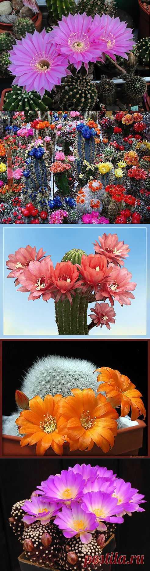 кактусы - Самое интересное в блогах