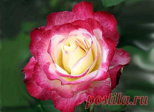 до, роза данте фото догадывается том