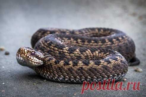 Отруйні змії: які водяться в Україні та що робити в разі укусу