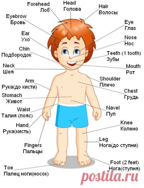 Human body части тела на английском Материалы engblogru