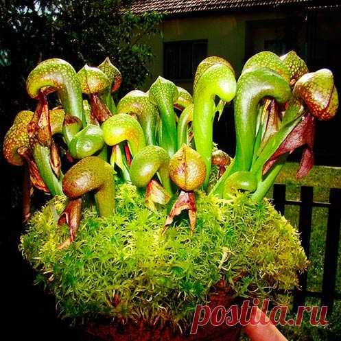 Комнатное растение Дарлингтония (Darlingtonia). Это удивительное растение способно охотиться на насекомых. Видоизмененные листья дарлингтонии являются ловушками, наполненными пищеварительным соком. В них перевариваются двукрылые жертвы, которые не могут выбрать наружу. Содержать дарлингтонию в комнатных условиях рекомендуют в парниковых ящиках, защищенных мхом или листьями. Лучшей почвой для них является обычный влажный торф. Красивые желтоватые или красно-коричневые цветки появляются в июне.