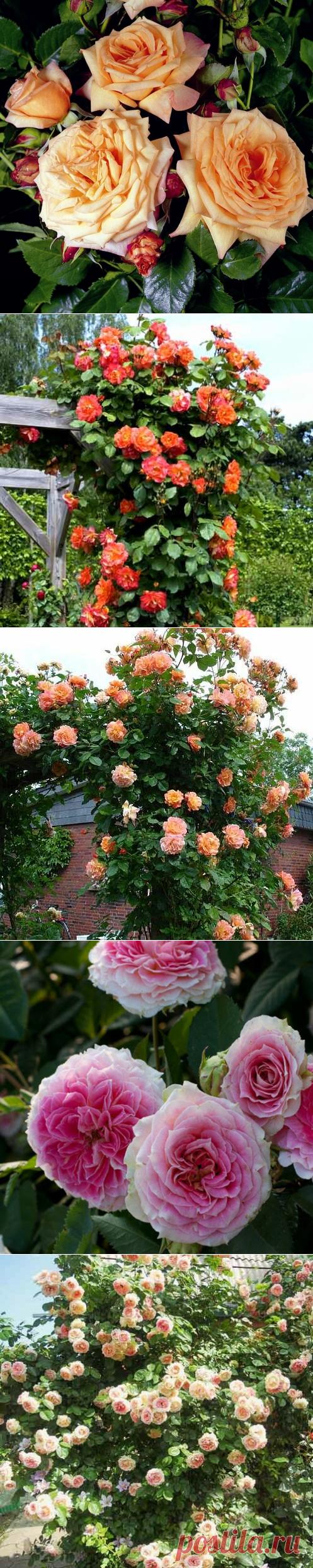 Почему на маленьком участке всегда уместна плетистая роза | Fragoletta (Земляничка) | Яндекс Дзен