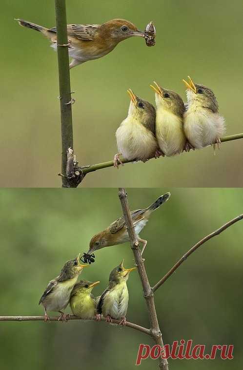 Интересно, как эта птичка запоминает, кого она уже кормила