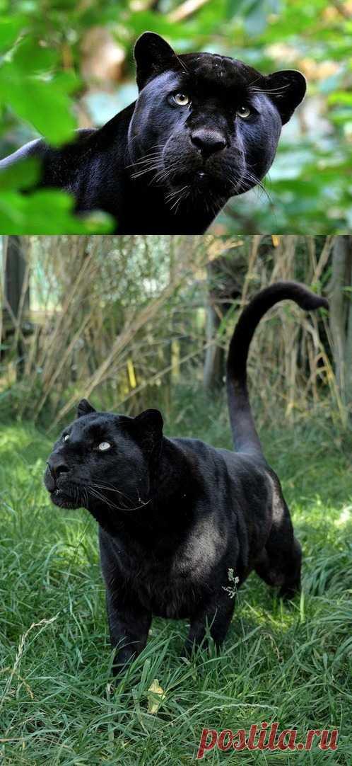 Грация, сила и лоск. Природа наградила этих кошек удивительной красотой