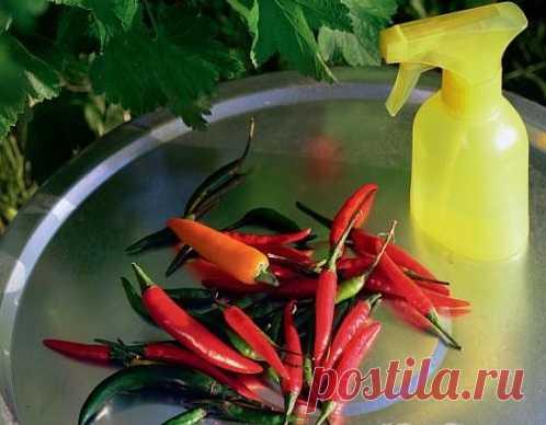 Как избавиться от тли на домашних растениях без химии :: как избавиться от тли в домашних условиях :: Цветоводство