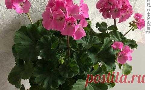 Пеларгония зональная - описание растения, особенности выращивания, уход и размножение. Фотографии