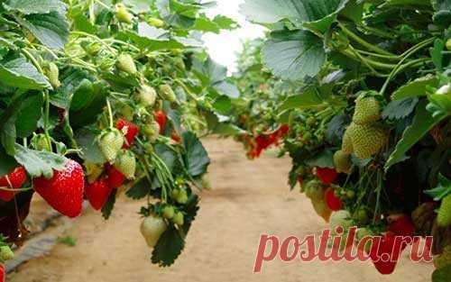 Урожайные клубничные грядки – где и как? | tobehome.ru