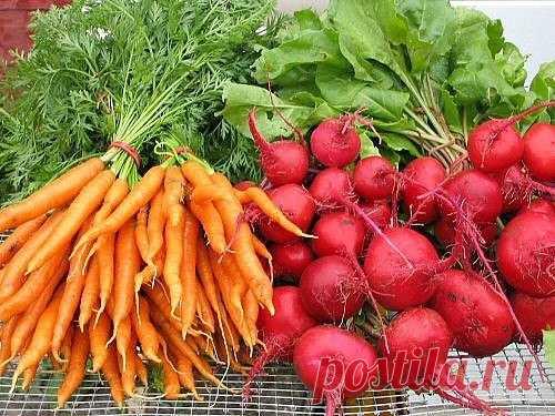 Чтобы свекла и морковь были сладкими  Какими приемами можно повысить сахаристость свеклы и моркови?