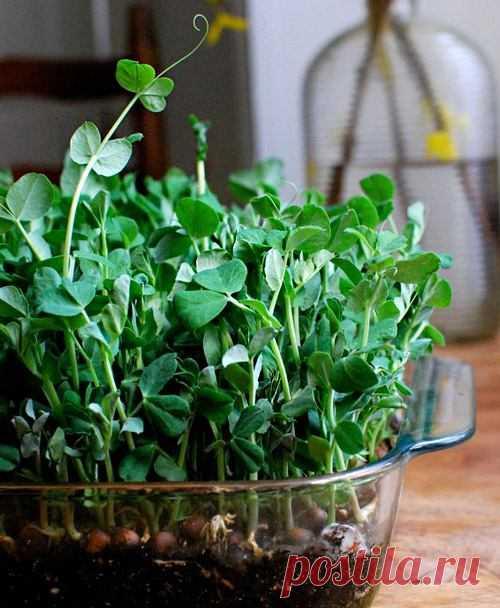 Микрозелень дома без прорастителя Микрозелень - это съедобные маленькие растения, которым дают дорасти до пары настоящих листьев. Микрозелень дома без прорастителя легко и просто