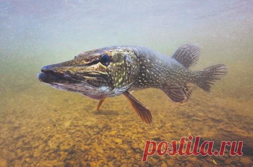 Ловля щуки в августе на воблера и джиг. Рыбалка поверхностными приманками   Рыбалка 63   Яндекс Дзен