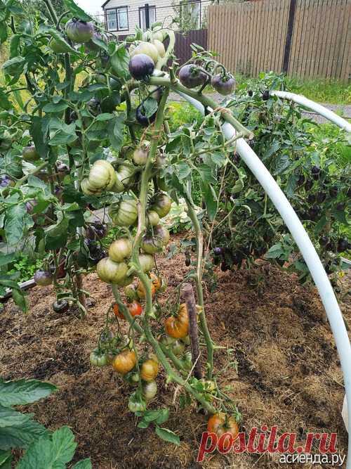 Помидоры фиолетовые (сорт точно не установлен): Группа Практикум садовода и огородника