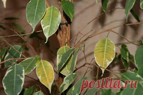 Почему фикус Бенджамина сбрасывает листья? | Цветовод-Консалтинг