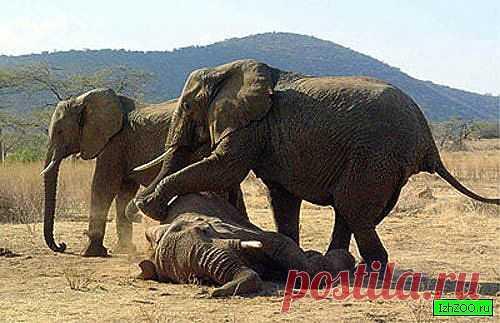 Похоронный ритуал у слонов