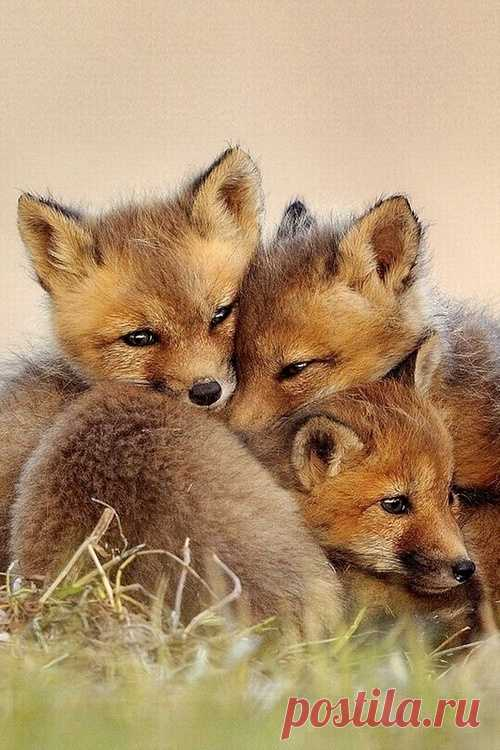Darlings-awfully nice young foxes