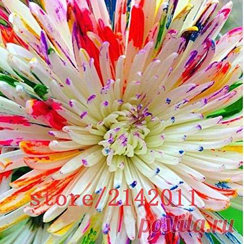 100pcs//bag rainbow daisy seeds chrysanthemum seed bonsai flower beautiful potted