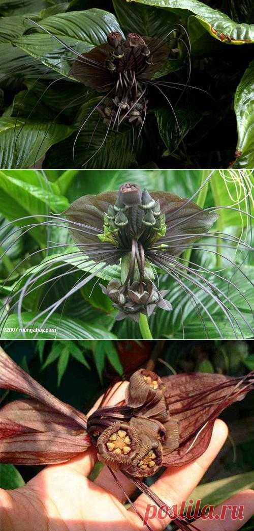 Такка (Tacca leontopetaloides)