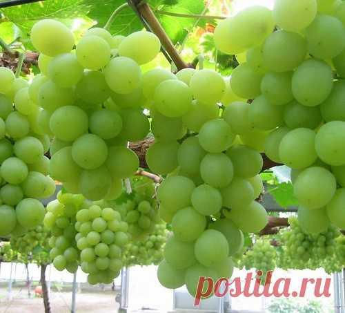 How to receive a big and qualitative harvest of grapes