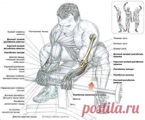 Разгибание запястий - предплечия со штангой хватом сверху - превосходное упражнение, которое укрепляет суставы запястья - предплечия, которые часто бывают слабыми из-за недостаточной силы мышц разгибателей кисти.