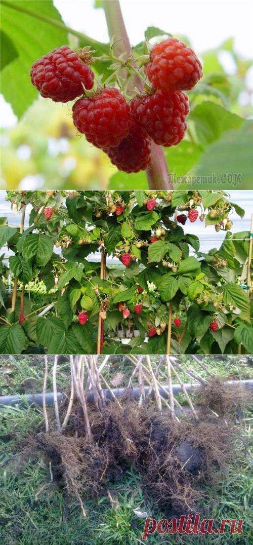 малиновое дерево посадка и уход фото размножение максимально быстро