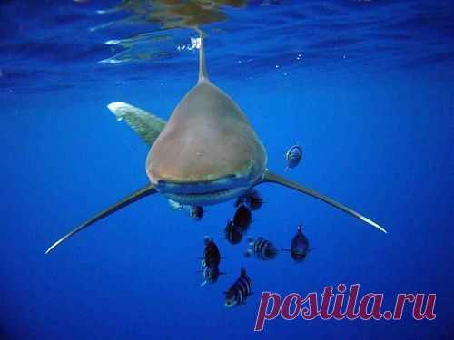 Длиннокрылая океаническая акула (лат. Carcharhinus longimanus). Акула имеет коричнево-сероватый окрас, на концах грудных плавников встречаются белые пятна.Белые пятна на концах грудных плавников и хвосте