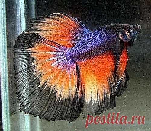 Рыбка Петушок.