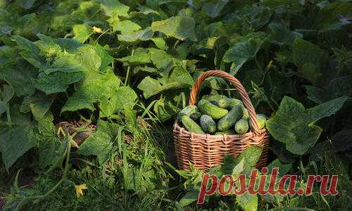 Cultivation of cucumbers: landing, leaving, top dressing, grades