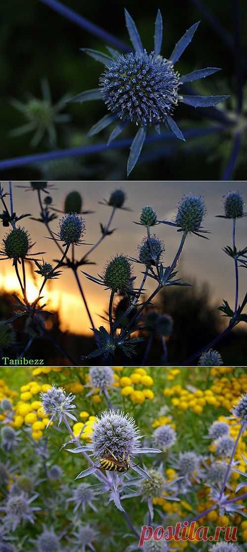 Синеголовник-колючее изящество. Синеголовник - уникальное декоративное растение для Сада! У него не только цветы синие, но и стебли, поэтому, посаженные рядом несколько кустов выглядят синим облаком.