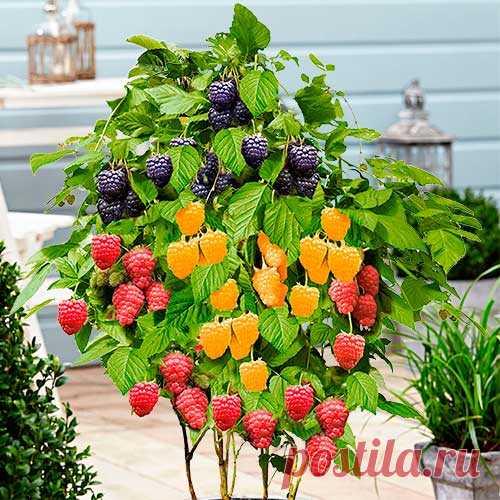 Малина на балконе или лоджии круглый год: 5 нюансов выращивания | Obustroeno.Com