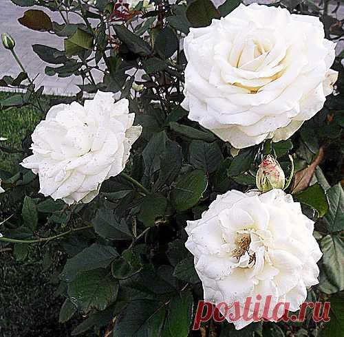 Сергей Анатольевич — «Сентябрь 2011, растения, цветы, розы» на Яндекс.Фотках